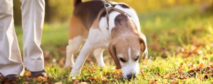 Hora do Passeio: Por que farejar enquanto caminha é importante para cães