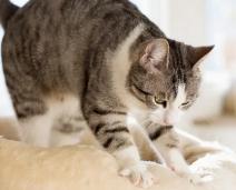 Por que os gatos amassam seus tutores? 4 razões que você deve saber
