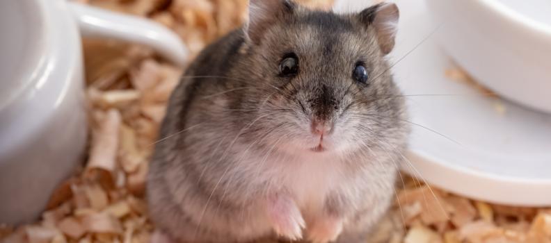 Dica: como fazer com que o seu hamster pare de morder