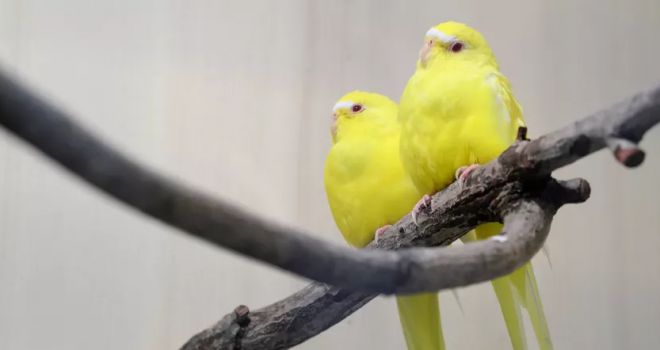 Periquito Lutino: conheça a espécie