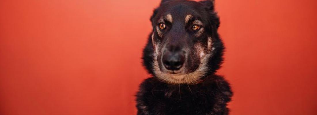 Comportamento: Por que os cães colocam suas orelhas para trás?