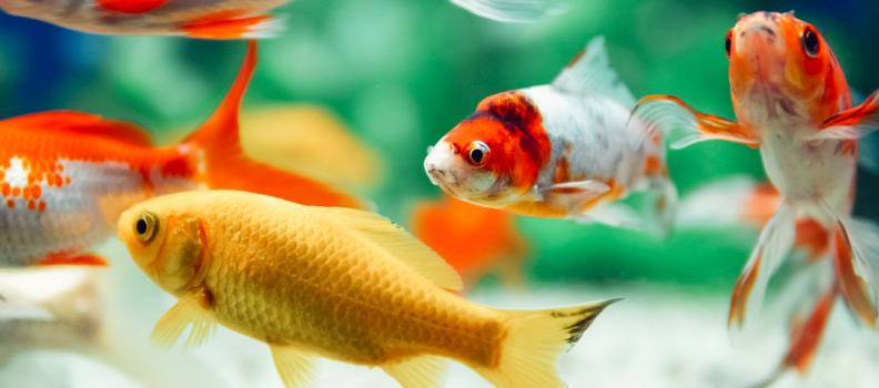 Como determinar o sexo dos peixes?