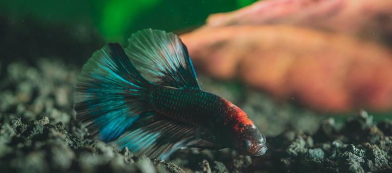 Alimentação dos peixes betta