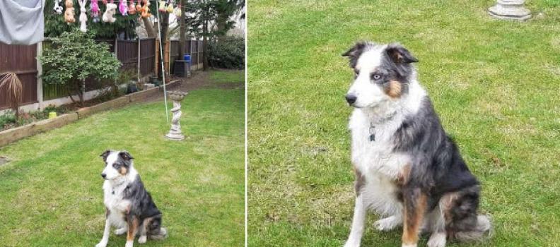 Cãozinho fica de guarda no quintal enquanto seus bichinhos de pelúcia secam