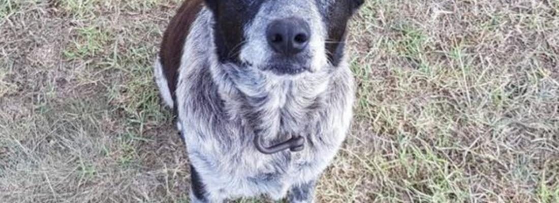 Cão salva menina de 3 anos que estava perdida e é homenageado pela polícia