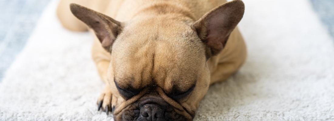 Por que meu cachorro ronca?