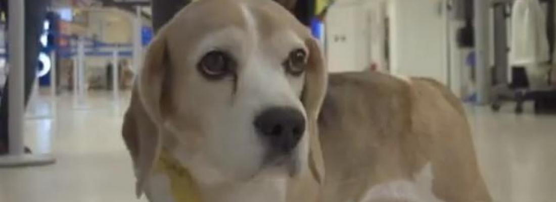 Aeroporto na Escócia terá Cães Terapêuticos para ajudar acalmar passageiros ansiosos