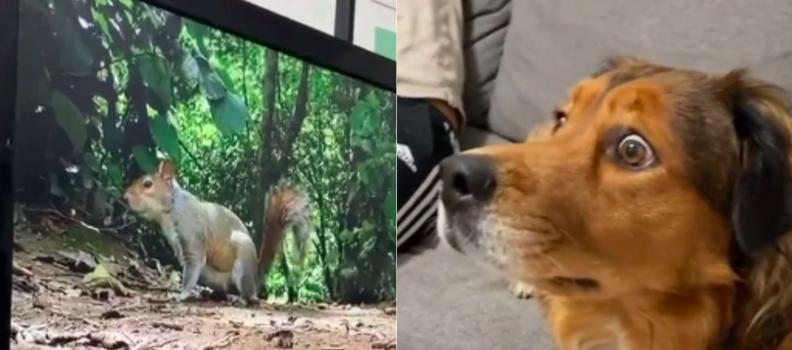 Cachorro fica chocado quando vê esquilos 'dentro' da TV