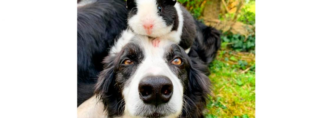 Semelhança entre cãozinho e porquinho da Índia choca internautas