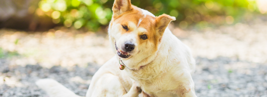 Dermatite em Cães: Principais Causas