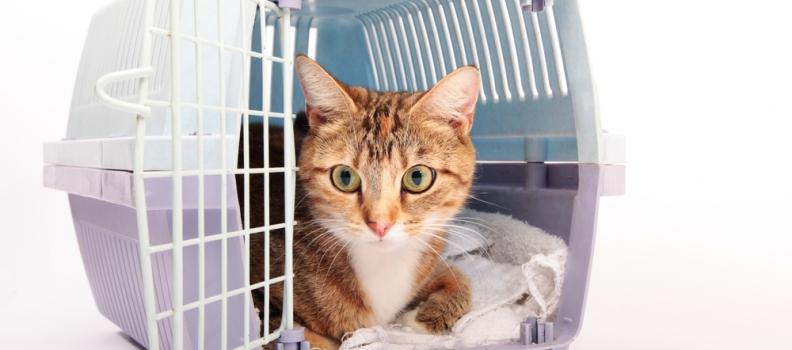 Como fazer seu gato não estranhar sua caixa de transporte