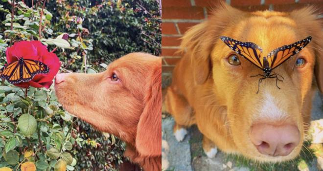 Cãozinho gentil permite que borboletas do seu jardim pousem nele para descansar