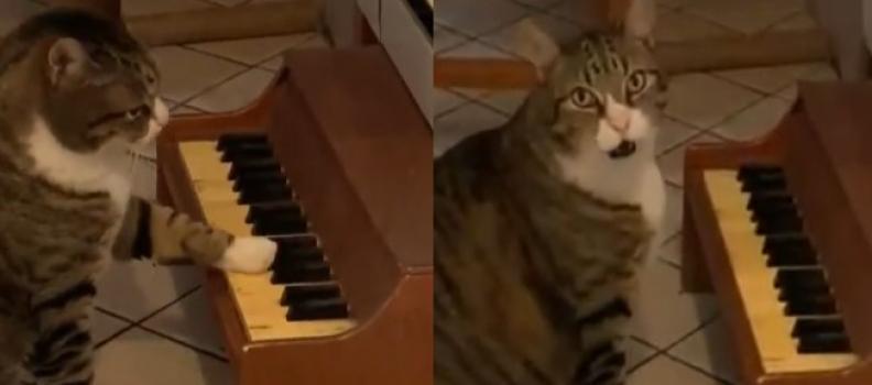 Gatinho toca piano para mostrar à tutora quando está com fome; veja vídeo