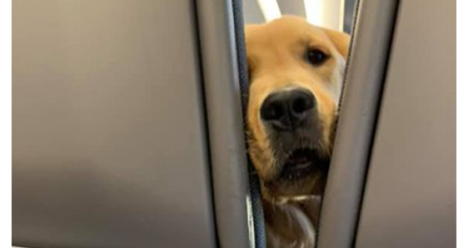 Peludinho a Bordo: Cãozinho faz a felicidade de passageiros em avião