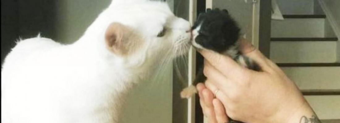 Conheça o gato que acolhe e abraça os novos gatinhos que chegam no abrigo