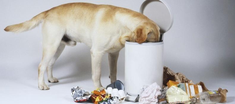 Por que alguns cães gostam de revirar no lixo