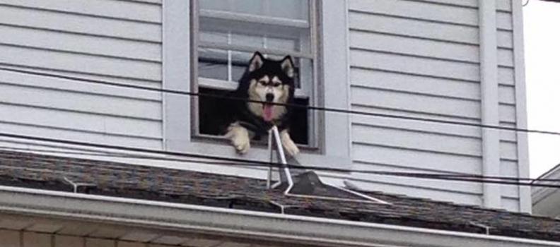 Bombeiros resgatam o mesmo cãozinho duas vezes de telhado em uma hora