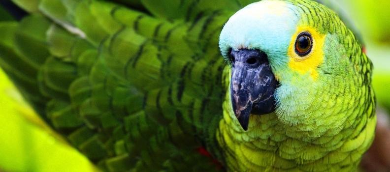 Micoplasmose: fique atento a essa doença em aves