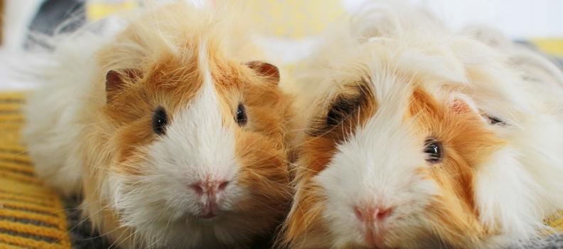 Saiba quando seu roedor precisa ir ao veterinário
