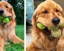 Cãozinho obcecado com bolas tênis quebra o recorde mundial