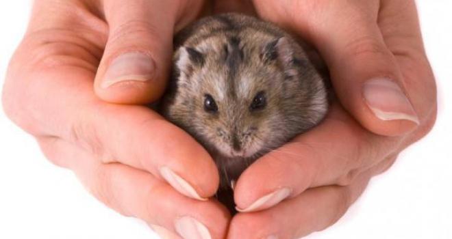Hamster toma banho? Entenda sobre os cuidados de higiene do pet