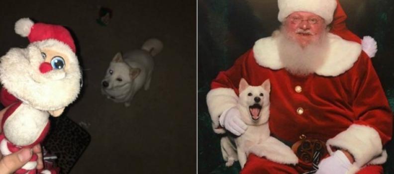 Cadela que não larga boneco de Papai Noel 'surta' ao conhecer um de carne e osso