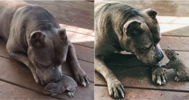 Cadelinha adota bebê esquilo órfão. Confira