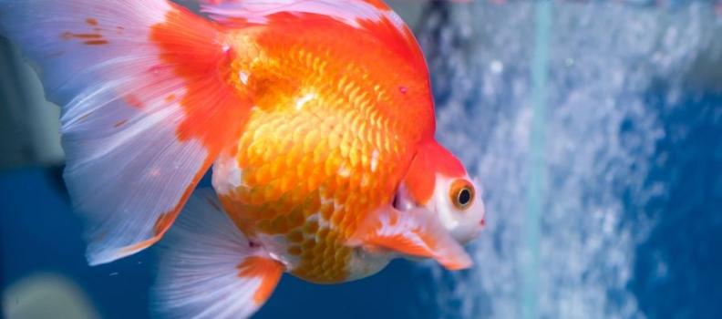Como detectar doenças em peixes de aquário?