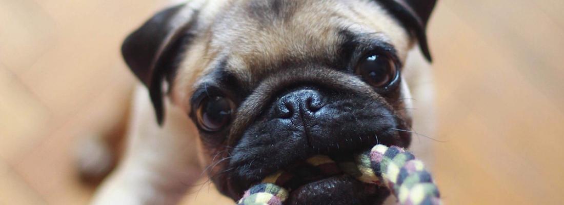 Por que meu cão rosna quando brinca?