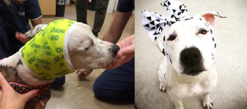 Cadelinha que sofreu maus-tratos ganha laços de pessoas do mundo todo para cobrir feridas na cabeça