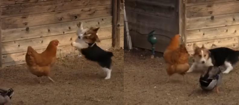 Cachorro, galinha e pato na fazenda: A confusão que vai melhorar ainda mais seu dia