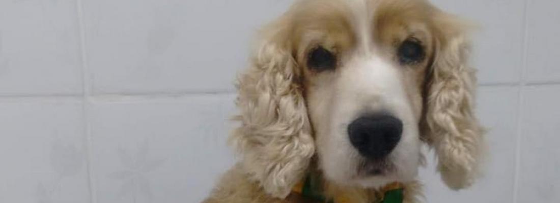 Cachorro sumido há quase 2 meses é achado a 150 km de distância após tutora ver post na web