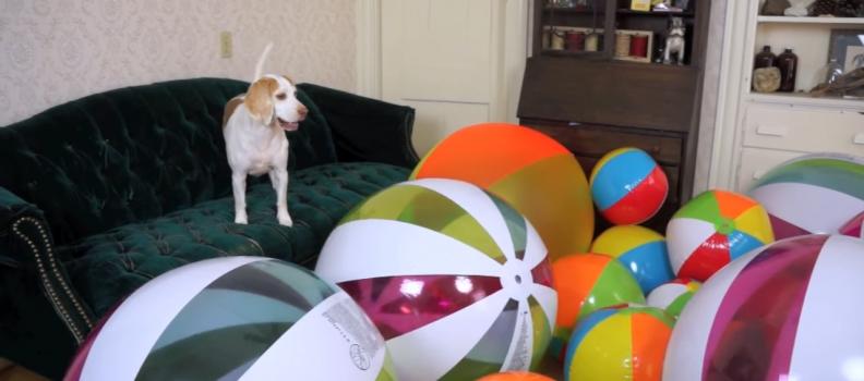 Este beagle ficou MUITO feliz com a sua surpresa de aniversário
