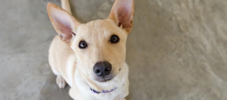 Como cachorros se comunicam com humanos?